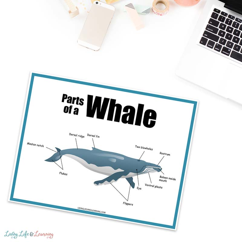 free whale worksheets