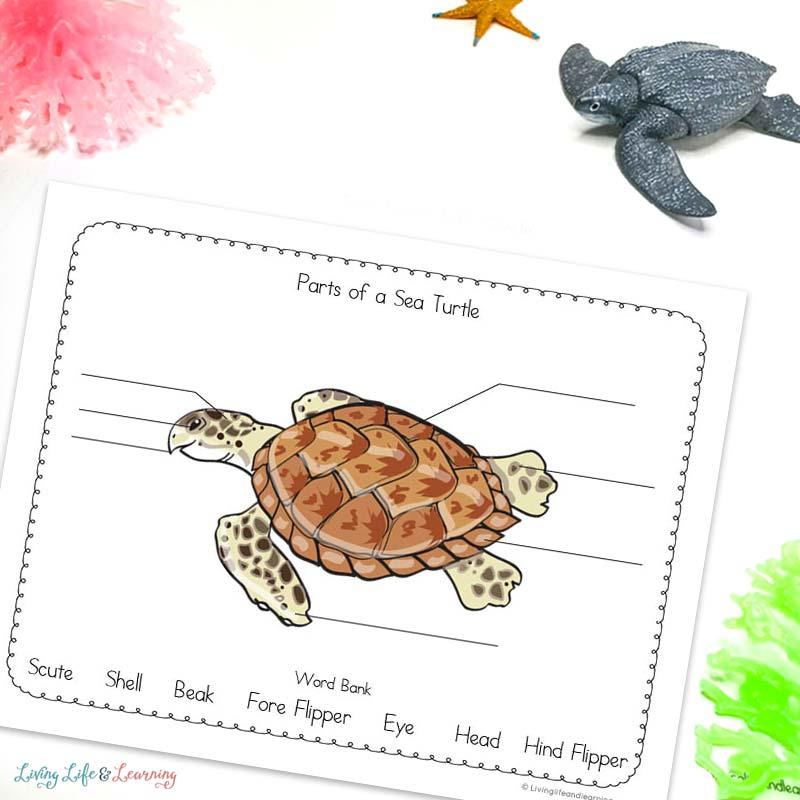 Label the Sea Turtle Diagram worksheet