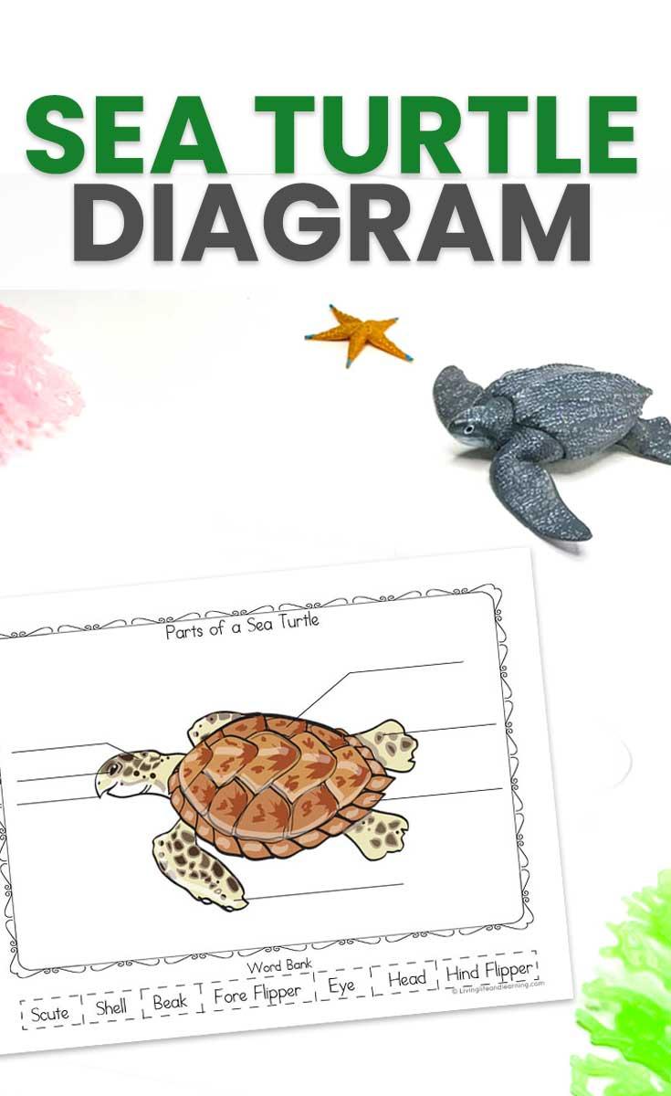 Sea Turtle Diagram for Kids