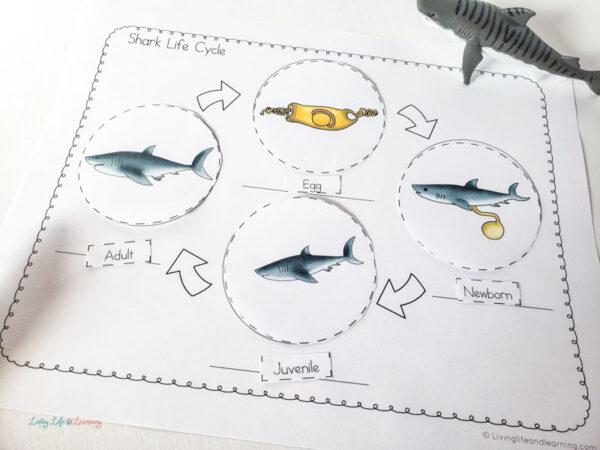 life cycle of a shark worksheet