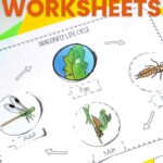 Dragonfly Life Cycle Worksheets