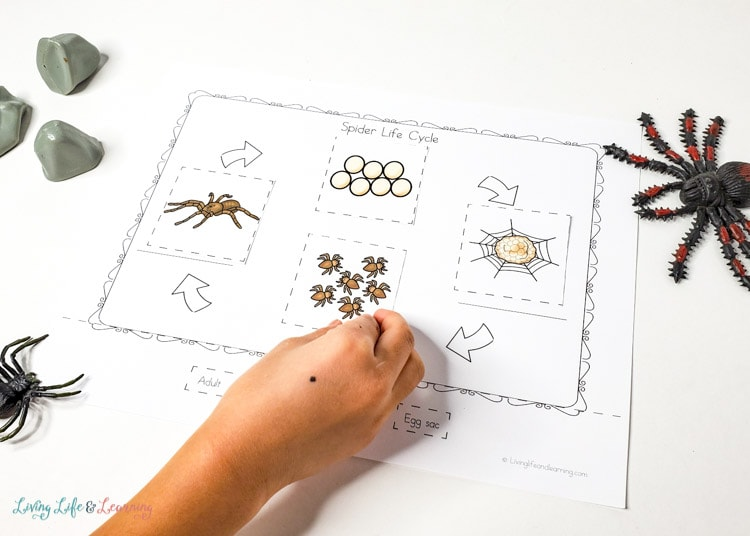 spider life cycle printable